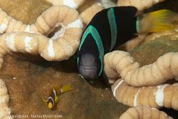 BD-130331-Tulamben-8568-Amphiprion-clarkii-(Bennett.-1830)-[Yellowtail-clownfish].jpg